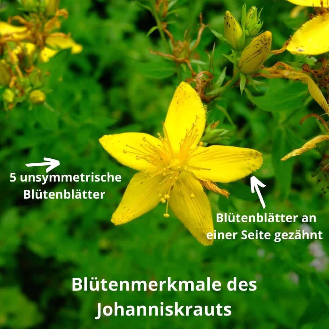 Johanniskraut - Bestimmungsmerkmal an Blüten
